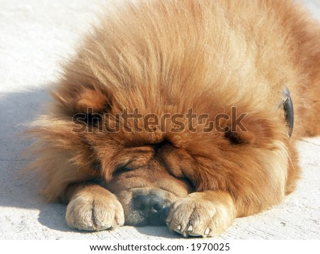Red chow chow dog sleeping outside - stock photo