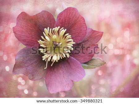 red christ rose on blurred background with shiny circles, floral christmas design. selected focus. - stock photo