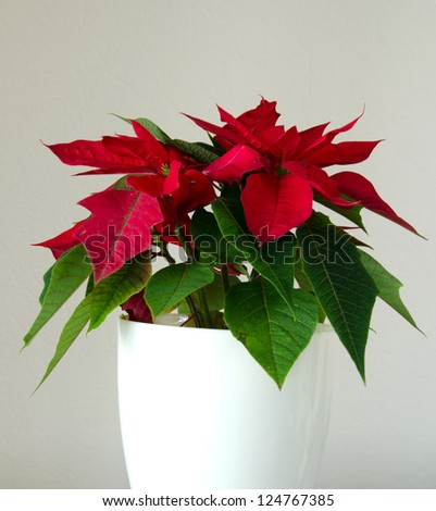 Red christmas flower poinsettia in pot - stock photo