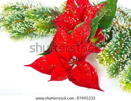 red christmas flower poinsettia with fir tree branch