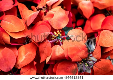 Red Christmas Poinsettia