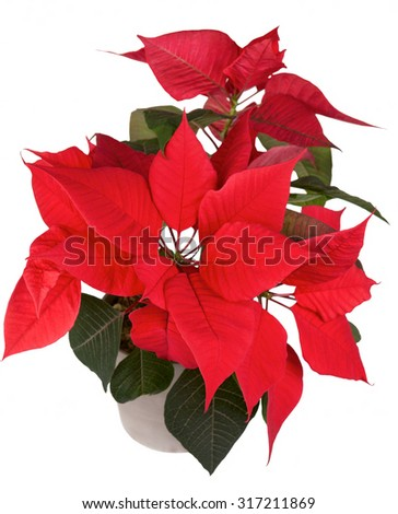 Red christmas poinsettia flower in a ceramic pot  isolated white