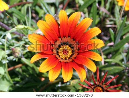 Red chrysanthemum carinatum