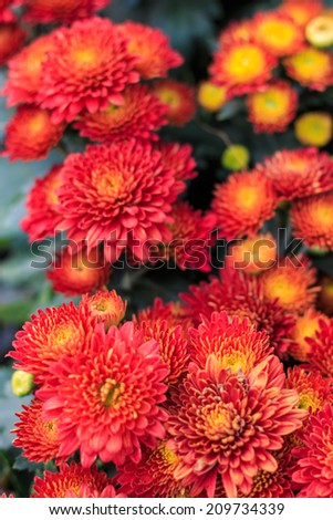 Red Chrysanthemum flora blooms. shallow DOF, focus on the flower at the bottom. - stock photo
