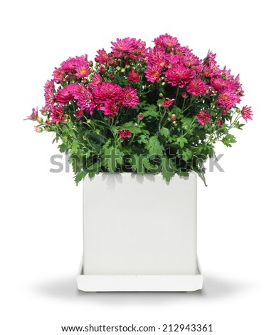 Red chrysanthemum flower in modern white pot isolated - stock photo
