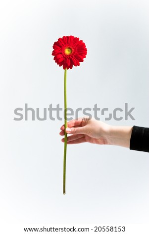 Red chrysanthemum in womans hand