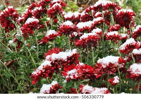Showy Fragrant Callistemon Red Bottle Brush Stock