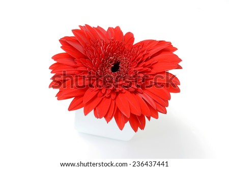 Red chrysanthemums in white vase  isolated on white background