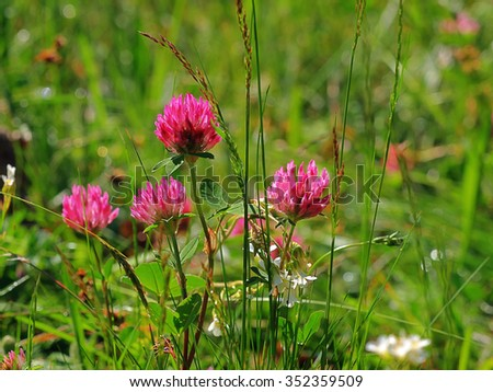 Red Clover - stock photo