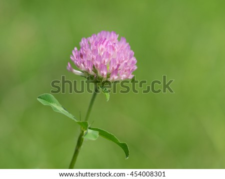 Red clover blooms in the early summer grassy field - stock photo