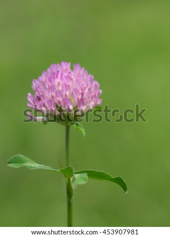 Red clover blooms in the summer grassy field - stock photo