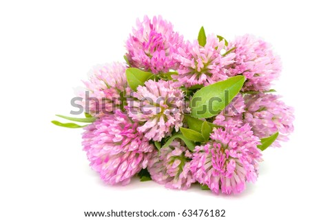 Red Clover Bouquet Isolated on White Background