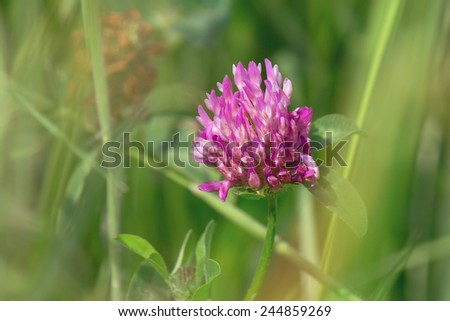 Red clover flower in the meadow. Shallow depth of field. - stock photo