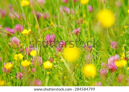 Red clover, Trifolium pratense, and Meadow Buttercups, Ranunculus acris in a Cotswold meadow in summer, The Cotswolds, Gloucestershire, United Kingdom - stock photo