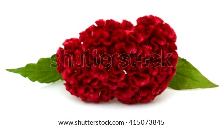 Red cockscomb flower isolated on white background