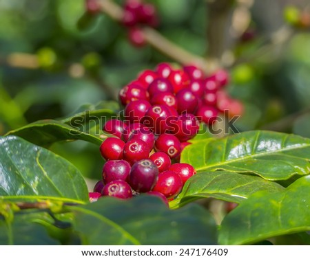 Red coffee beans on a branch of coffee tree, ripe and unripe berries, combination with green leaves - stock photo