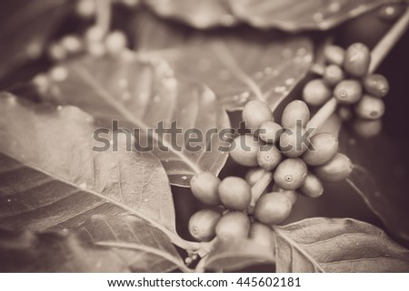 Red coffee beans on a branch of coffee tree, ripe and unripe berries, combination with green leaves.Black and white vintage tone.Selective focus  - stock photo