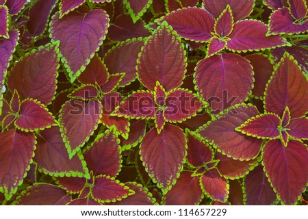 red coleus close up for background - stock photo