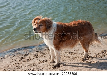 red collie type dog standing in soft mud beside a tidal lagoon  - stock photo
