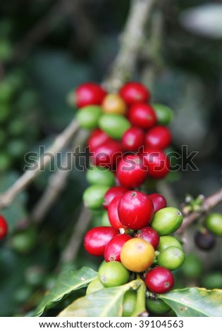 Red colombian coffee bean . Beauty nature image - stock photo