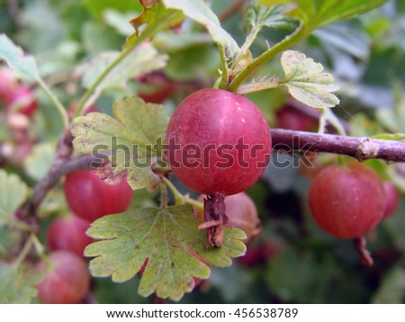 Red color gooseberries on bush branch close up macro.                                - stock photo