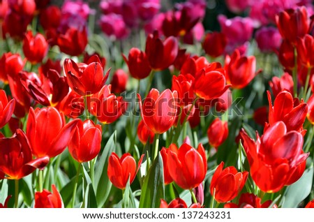 Red color tulips. (Flower-beds in the spring)