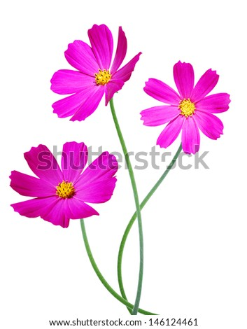 Red Colored Cosmos Flowers Isolated on White  - stock photo