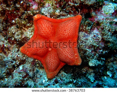Red compact sea star - stock photo