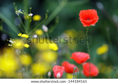 Red corn poppies and yellow dandelions giving a colorful seasonal summer display in a cultivated agricultural, cornfield or garden with shallow dof - stock photo