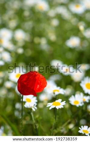 red corn poppy in floral  meadow