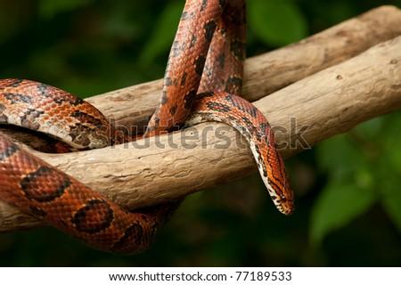 Red Corn snake (Elaphe guttata) slithering on a bare branch - stock photo
