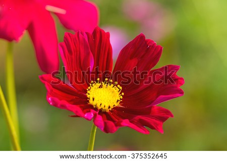 Red cosmos flower (Cosmos Bipinnatus) with blurred background - stock photo