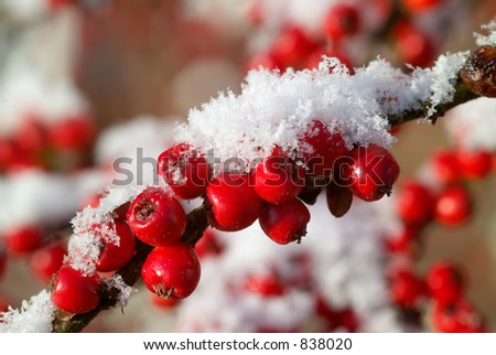 Red Cotoneaster berries with freshly fallen snow - stock photo