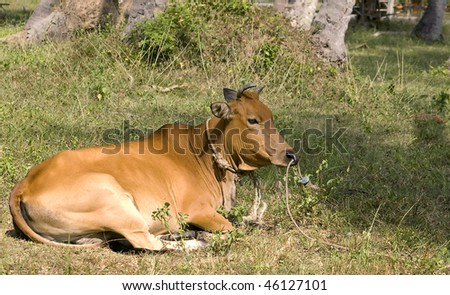 Red cow in a tropical forest (Thailand)