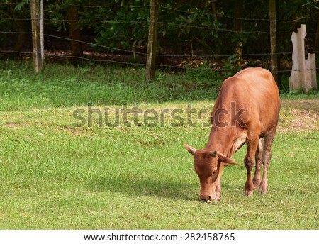 Red cow is eating grass. - stock photo