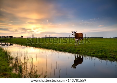 red cow on pasture by river at sunset - stock photo