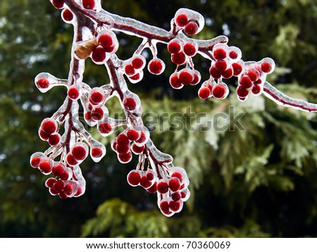 Red crab apples encased in a thick coating of ice from a winter storm. - stock photo