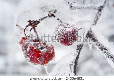 Red crab apples frozen and covered with ice on snowy branch in winter, close up - stock photo