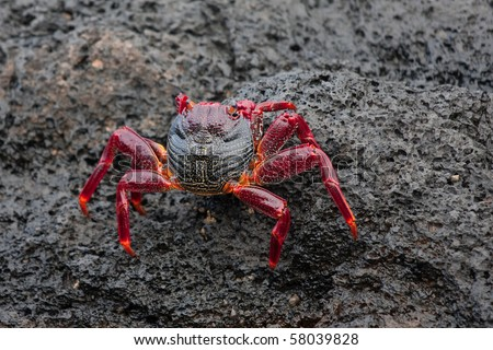Red crab on a dark rock - stock photo