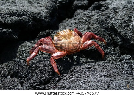 Red crab on lava rock on Fernandina Island, in the Galapagos Islands