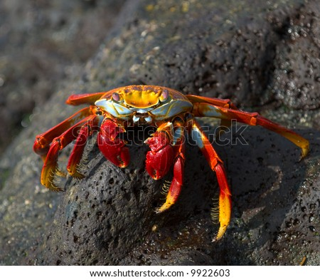 red crab on the rock, galapagos islands - stock photo