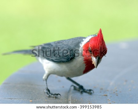 Red Crested Cardinal, aka Brazilian Cardinal has a scientific name of Paroaria coronata - stock photo