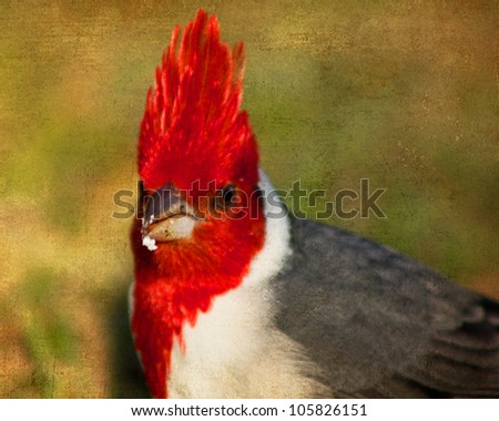 Red-crested Cardinal Bird - stock photo