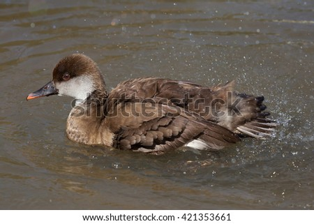 Red-crested pochard (Netta rufina). Wild life animal.