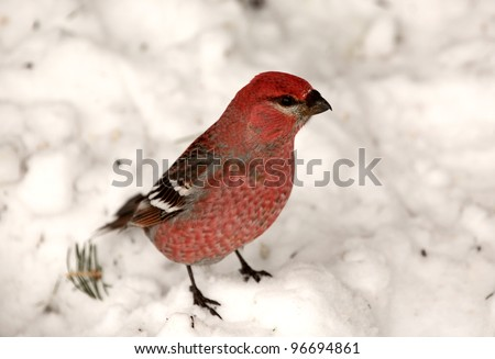 Red Crossbill on snow covered ground