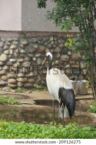 Red-crowned crane (Grus japonensis), also called Japanese crane, stands, eyes closed, under spray of water. It is known as a symbol of luck, longevity and fidelity. - stock photo