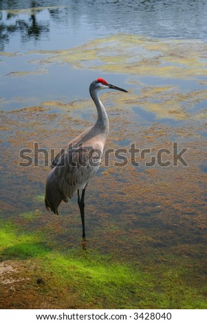 Red crowned crane in the water - stock photo