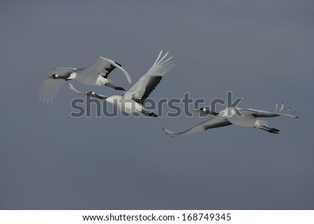 Red-crowned crane,  Japanese crane, Grus japonensis, three birds in flight,  Japan