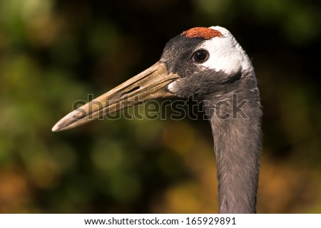Red-crowned Japanese crane head in side angle view with autumn colors in background - stock photo