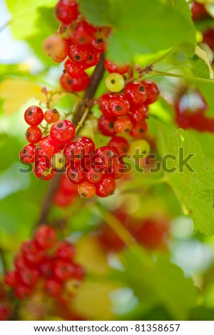 Red currant berries close-up on green leaves - stock photo